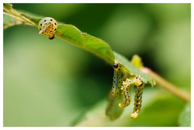 foto's, Elzebladwesp (Craesus septentrionalis), bladwesp
