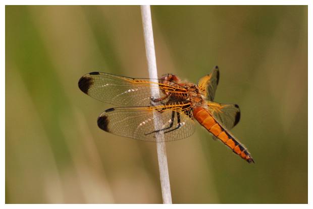 foto's, Bruine korenbout (Libellula fulva), libel