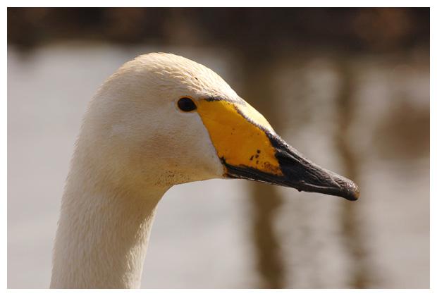foto´s, Wilde zwaan (Cygnus cygnus), vogel