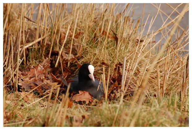 foto´s, Meerkoet (Fulica atra), vogel