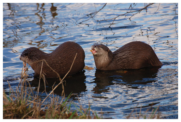 foto's, Europese otter of visotter (Lutra lutra)