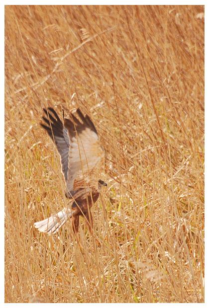 Bruine kiekendief (Circus aeruginosus), roofvogel