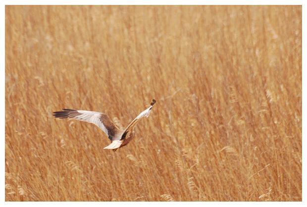 foto's, Bruine kiekendief (Circus aeruginosus), roofvogel