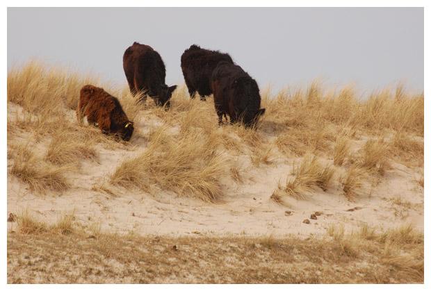 foto´s Galloway, koe, koeien
