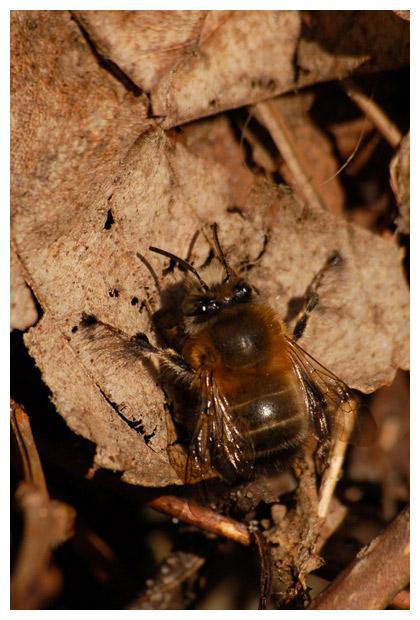 Gewone sachembij (anthophora plumipes), sachembijen