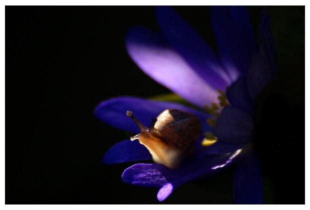 foto´s, Gewone tuinslak (Cepaea nemoralis)