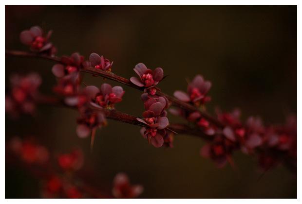 zuurbes (berberis), berberisfoto´s, bloem, plant, bloemen en planten, bloemfoto,bloemenfoto, bloemenfotos, plantfoto, plantenfoto, plantenfotos, vasteplant, vasteplanten, struik, struiken, prik, prikkels