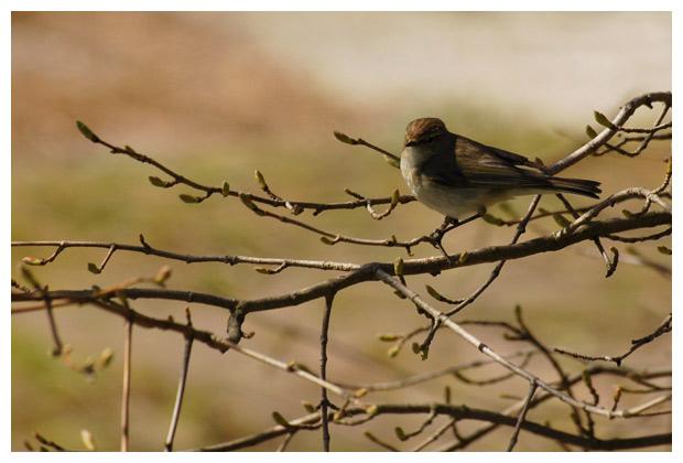 foto's, Tjiftjaf (Phylloscopus collybita), vogel