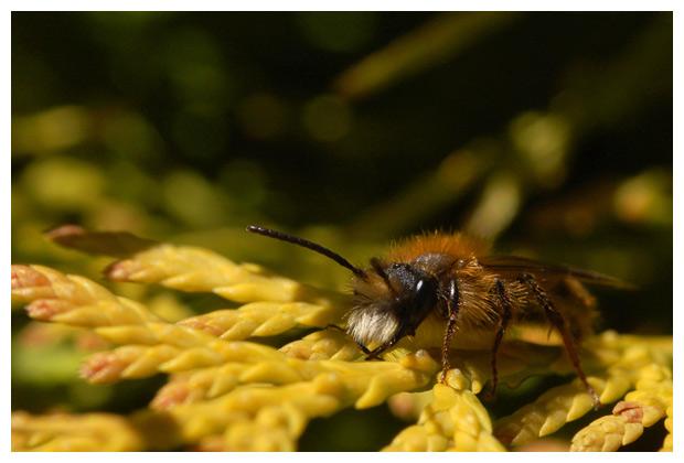 Witbaardzandbij, bij, bijen, bijenfoto´s