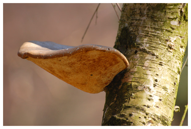 foto's, Berkenzwam (Piptoporus betulinus), paddenstoel