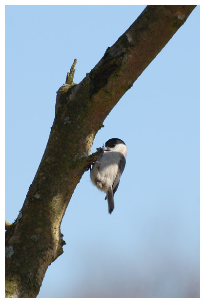foto´s, Matkop (Parus montanus), mees, vogel