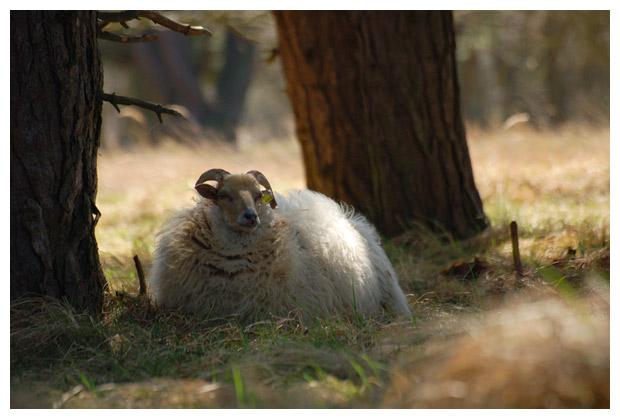 schaap (ovis), schapen, schaapje, schaapjes, schaapfoto´s, lam, lammen, lammetje, lammetjes, ooi, ooien, dier, dieren, dierenfoto´s, dierenfotos, zoogdier, zoogdieren, gemaakt in het amsterdams waterleidinggebied