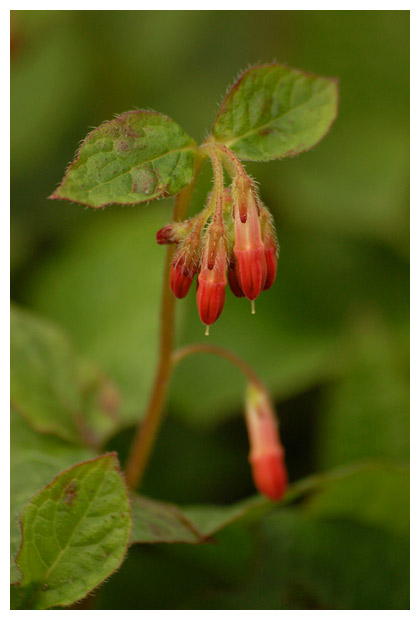 foto's, Kruipende smeerwortel (Symphytum grandiflorum), plant