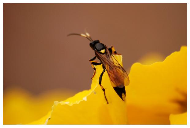foto´s, Gewone sluipwespen (Ichneumonidae), wesp, insect