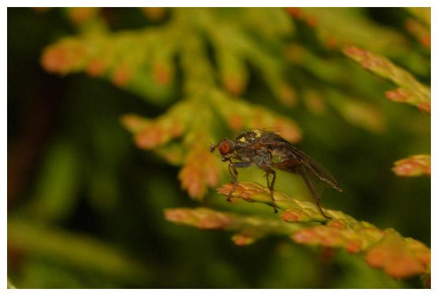 strontvlieg (scatophaga stercoraria),  gele strontvliegen (scatophagidae), strontvliegje, strontvliegjes,strontvliegfoto´s, strontvliegenfoto´s, strontvliegfotos, drekvlieg, drekvliegen, drekvliegje, drekvliegjes, vlieg, vliegen, vliegje, vliegjes, insect, insecten, insekt, insekten
