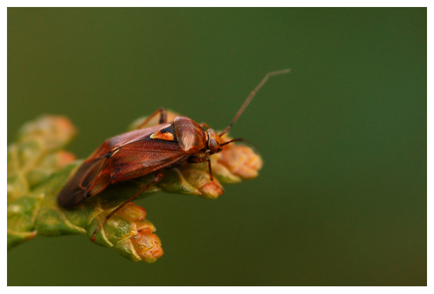 foto's, Rooshalsbandwants (Deraeocoris olivaceus), wants