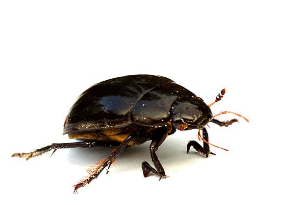 foto's, diverse verschillende soorten Hydrophilidae, kever