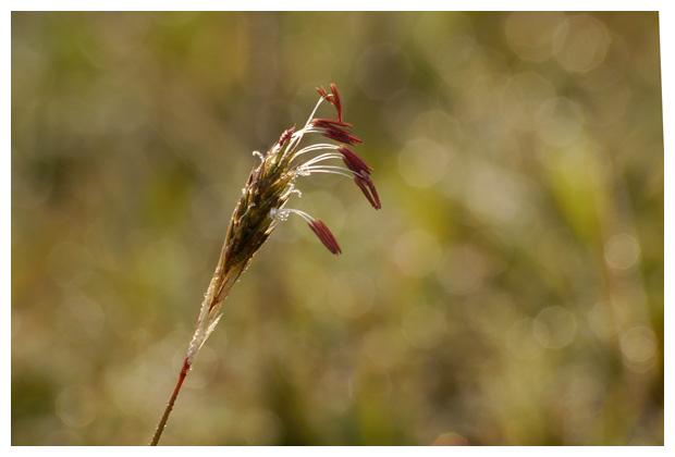 foto´s, Gewoon reukgras (Anthoxanthum odoratum), gras