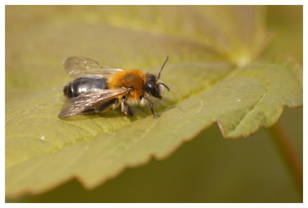 Viltvlekzandbij, zandbij, bijen, bijenfoto´s