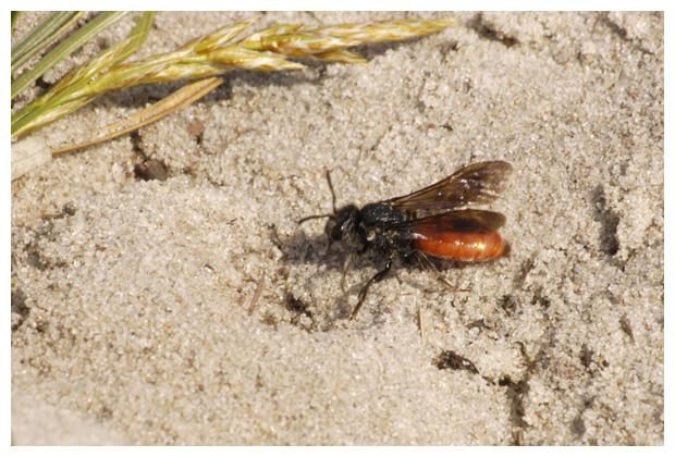 foto´s, Grote bloedbij (Sphecodes albilabris), bij