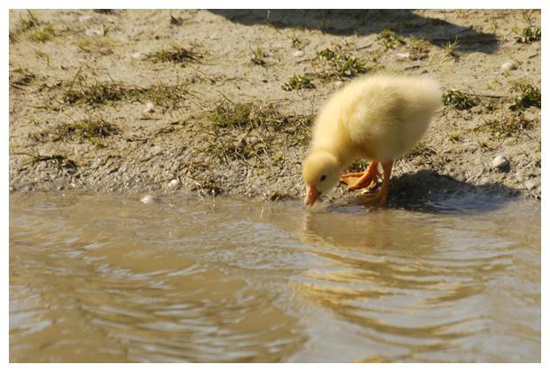 foto´s, Witte gans (Anser domesticus), vogel