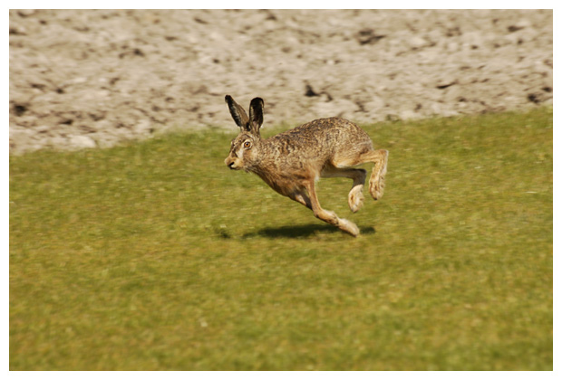 foto´s, Haas (Lepus europaeus), dier