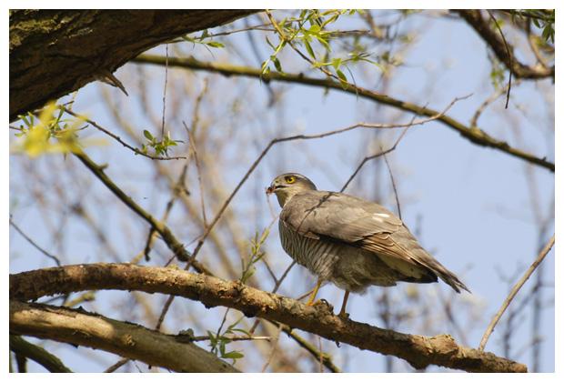 foto's, Sperwer (Accipiter nisus), roofvogel