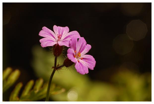 robertskruid (geranium robertianum), ooievaarsbekfamilie (geraniaceae), roze, kruidachtige, veldbloem, wilde