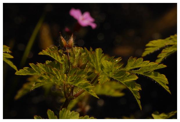 foto's, Robertskruid (Geranium robertianum), plant