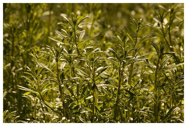 foto's, Kleefkruid (galium aparine), onkruid