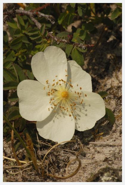 duinroos (rosa pimpinellifolia syn. rosa spinosissima), duinroosje, duinroosjes