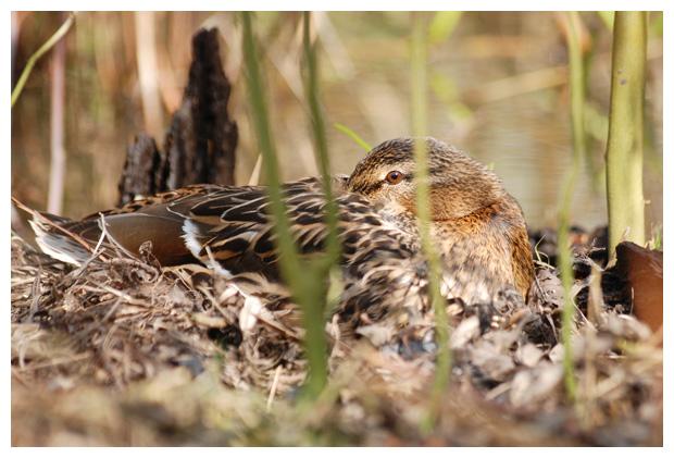 foto's, Wilde eend (Anas platyrhynchos)