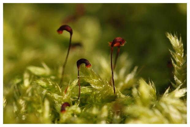 foto´s, Gewoon dikkopmos (Brachythecium rutabulum), mos