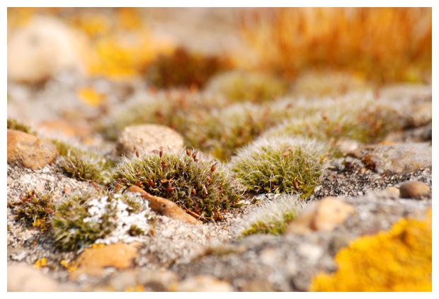 foto´s Gewoon muisjesmos (Grimmia pulvinata), mos