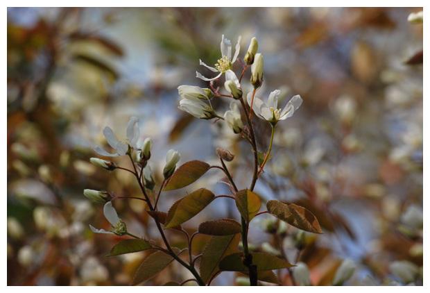 foto's Amerikaans krentenboompje (amelanchier lamarckii), (rosales), rozenfamilie (rosaceae), bloesem, vruchtgewas