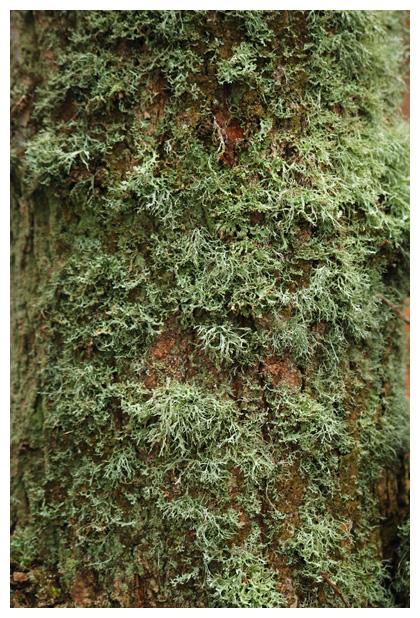 foto's, Melig takmos (Ramalina farinacea), korstmos