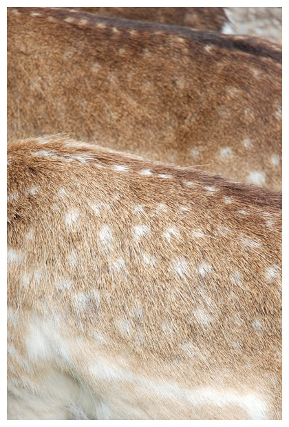 foto's, Damhert (Dama dama), hert