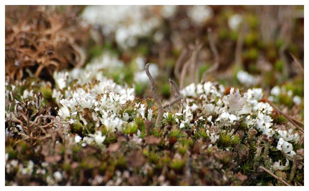 foto's, Zomersneeuw, elandgeweimos (Cladonia foliacea), korstmos