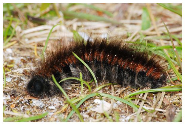 foto's, Veelvraat (Macrothylacia rubi), rups