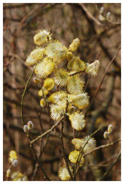 foto's, Boswilg, waterwilg (Salix caprea)