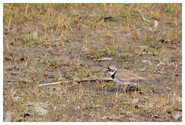 foto's, Kleine plevier (Charadrius dubius), vogel