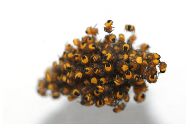 foto's, Kruisspin (Araneus diadematus), web