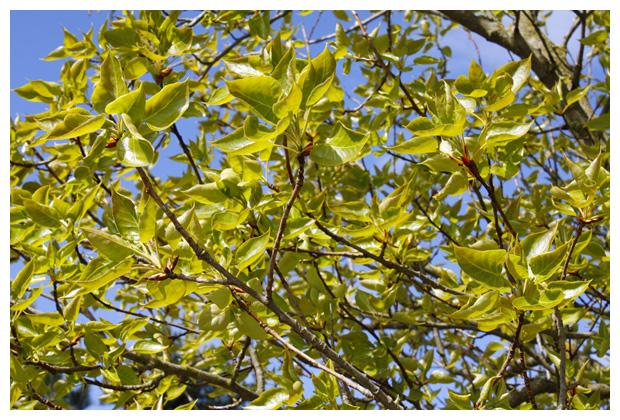 balsempopulier (Populus trichocarpa)