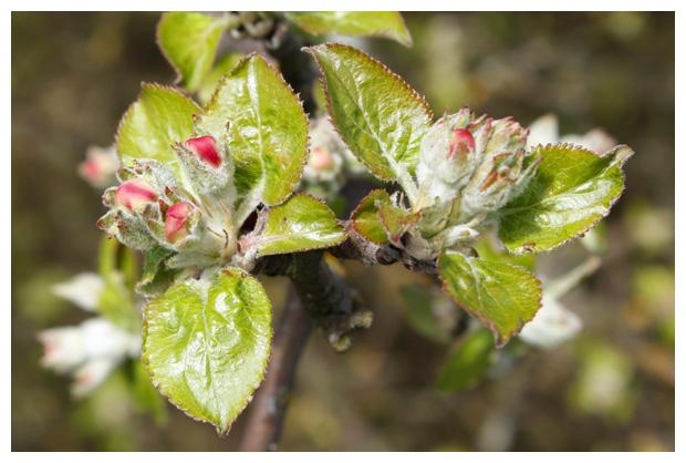 foto´s, Appel (Malus), appels, appeltje