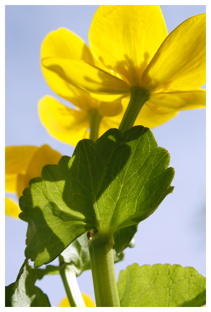 foto's, Gewone dotterbloem (Caltha palustris subsp. palustris)