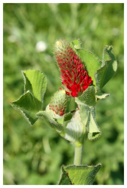 foto´s, Inkarnaatklaver (Trifolium incarnatum), klaver