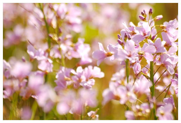 foto's, Pinksterbloem (Cardamine pratensis), plant