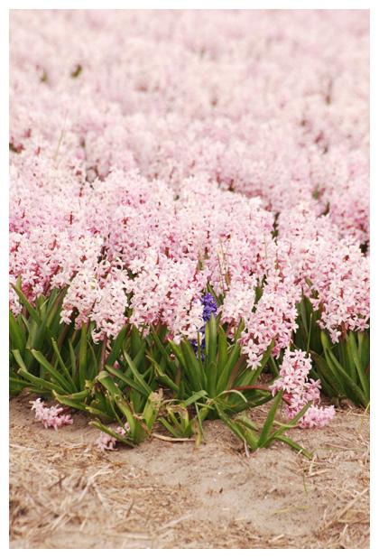 foto's, Hyacint (Hyacinthus orientalis), bolgewas