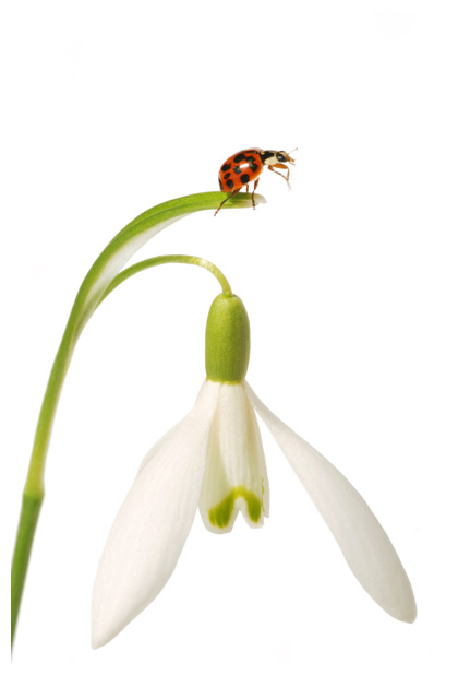 foto's, Sneeuwklokje (Galanthus nivalis)