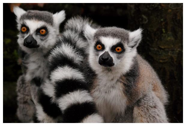 foto's, Ringstaartmaki (Lemur catta)